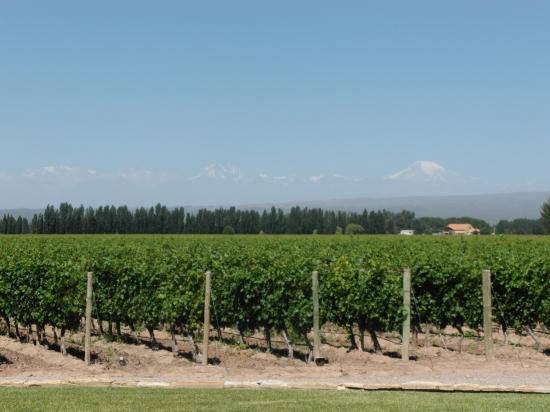 Os vinhedos da Catena que margeiam a estrada de acesso a vinicola